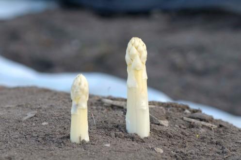 asparges.samsø.1