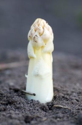 asparges.samsø.5