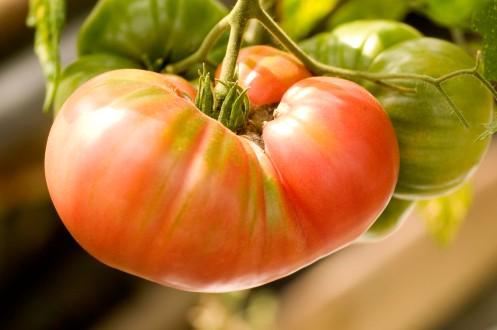 tomat.bøf