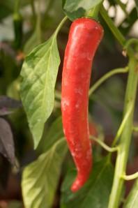 chili.lang rød