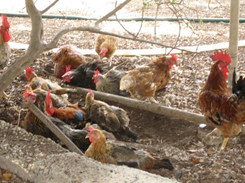 kyllinger.støvbad