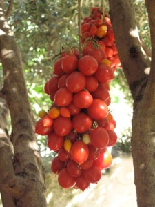 tomater.tørrede.3