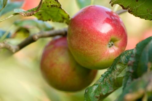 æbler.røde