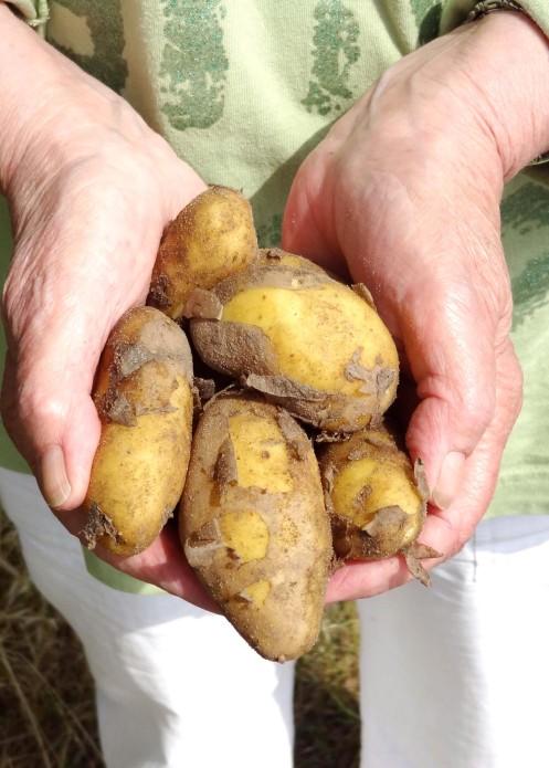 kartofler i hånd