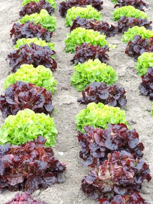 salat samsø