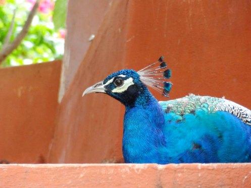 påfugl. Madurai