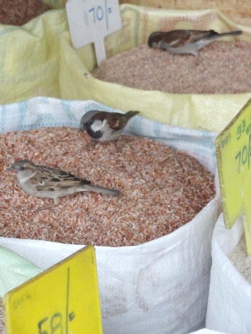 Sri Lanka.ris m fugle