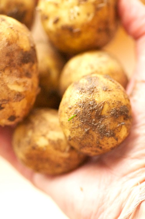 kartofler nye i hånd