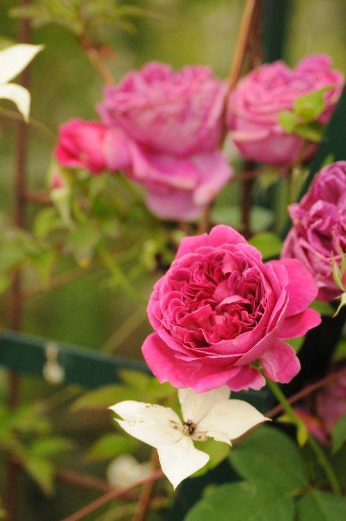 rose.1