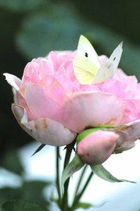rose m sommerfugl