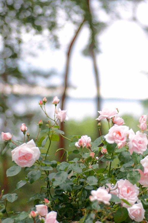 sommerhus roser