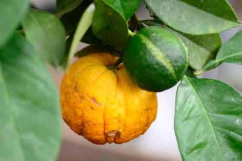 gartneri.2 frugter